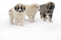 Romanian shepherd puppies in a snowy winter day