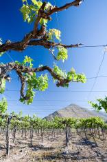 Grape Vine in Chile