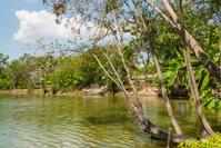 Big tree beside swamp