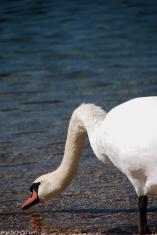 swan drinking