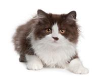 British Longhair kitten, 3 months old