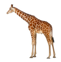 commonly known as Reticulated Giraffe, Giraffa camelopardalis