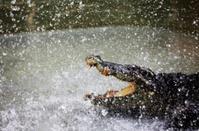 crocodile in sparks
