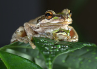 Baby under mama frog
