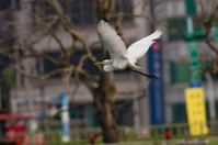 Intermediate Egret,Egretta intermedia
