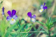 Wild Viola Tricolor
