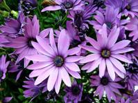 Purple African Moon Daisy's