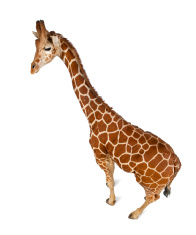 High angle view of Somali Giraffe, Giraffa camelopardalis reticu