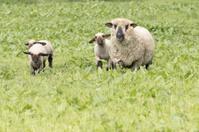 Merino ewe with three lambs in a green field