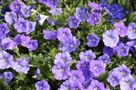 Purple colored petunias