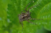 Wolf spider(Lycosidae Sundevall)