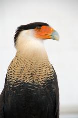 Crested caracara exotic falcon
