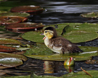 Wood Duck Duckling Yawning
