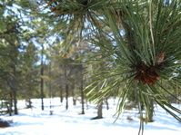 Pine Cone closeup in snowy Colorado