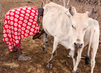Young maasai woman milking white cow