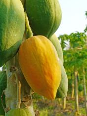 Ripe papaya on the tree.