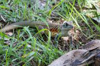 Common butterfly lizard at Huai Kha Khaeng wildlife sanctuary