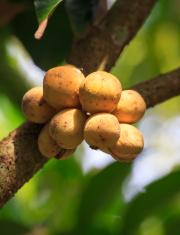 Fresh young Longkong fruits