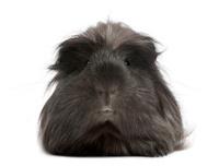 Peruvian guinea pig, Cavia porcellus