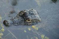 close up of alligator head