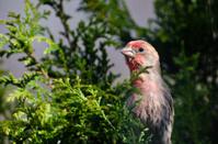 Male House Finch Perched in a Cedar Tree
