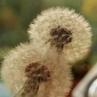 Double Dandelion Heads