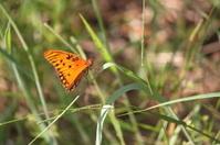 Orange Butterfly on grass