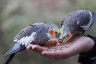 Feeding Cockatiels by hand