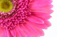 Pink gerbera daisy