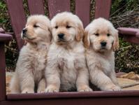 Three Golden Retriever puppies sitting on a chair