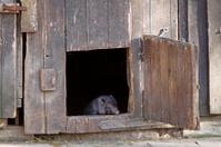 Piglet in the barn