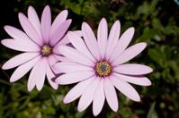 Mauve daisies