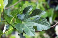 Fig leafs
