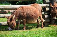 Pregnant Mini Donkey