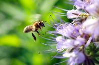 Flying honeybee near the flower