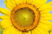 Closeup Sunflower with bee