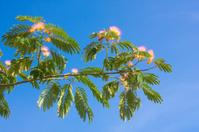 Rose acacia branch