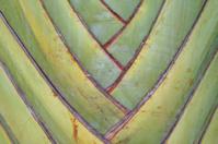 Banana tree stripes
