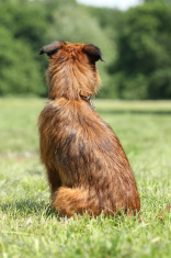 Dog breed Griffon waiting (rear view)
