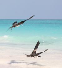 Blue Caribbean Ocean Waves with Flying Marine Birds