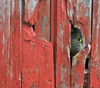 cat peeking in barn siding