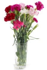 multicolor fragrant carnations