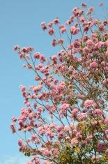 Pink blossom Tabebuia