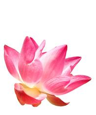 Pink Lotus Isolation