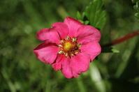 Blossom of Red Strawberry Toscana, Fragaria Ananassa