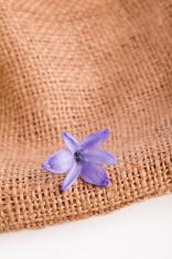 blossom of  hyacinth  flower