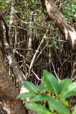 Mangrove on Florida Keys, Southern USA