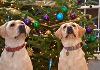 Christmas Labrador retrievers