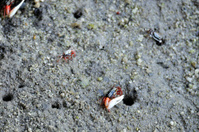 Male fiddler crab in mangrove forest, Thailand.