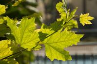 green leafs on the sun